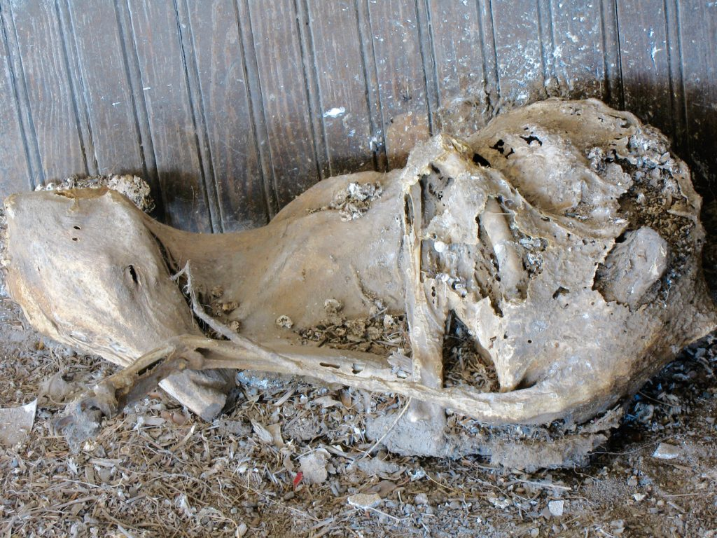 A mummified coyote in the corner of a Kansas school house.