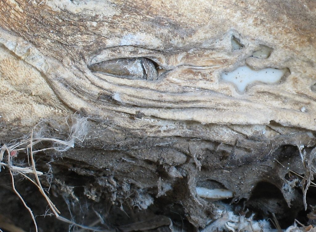 Close up photo of a mummified coyote skull.