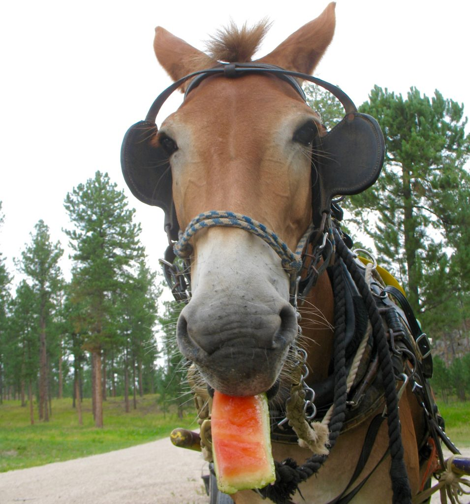 Polly the mule eats a piece of melon