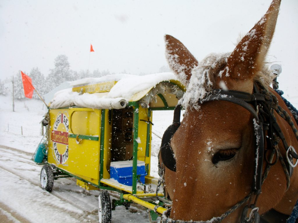 Mule Polly waits to be photographed in the snow.