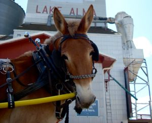 Mule Polly looks at the camera in Laka Alma, Saskatchewan.
