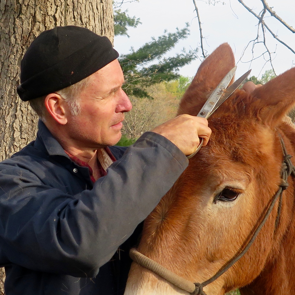 Bernie Harberts trims his mule Polly's mane with scissors.