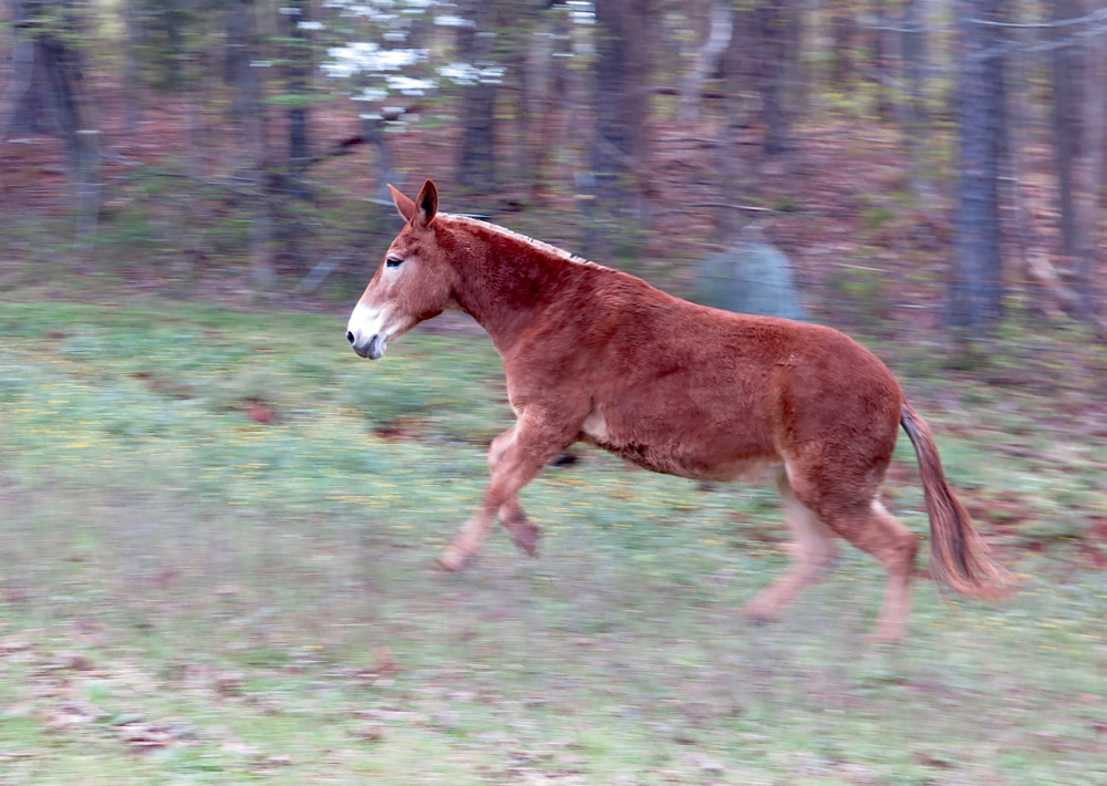 Mule Polly runs in her pasture.